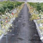 片平観光農園|日置市観光協会