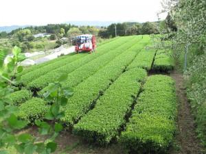春日園川路製茶|日置市観光協会