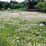正円池(ホテイアオイの群生地)|日置市観光協会